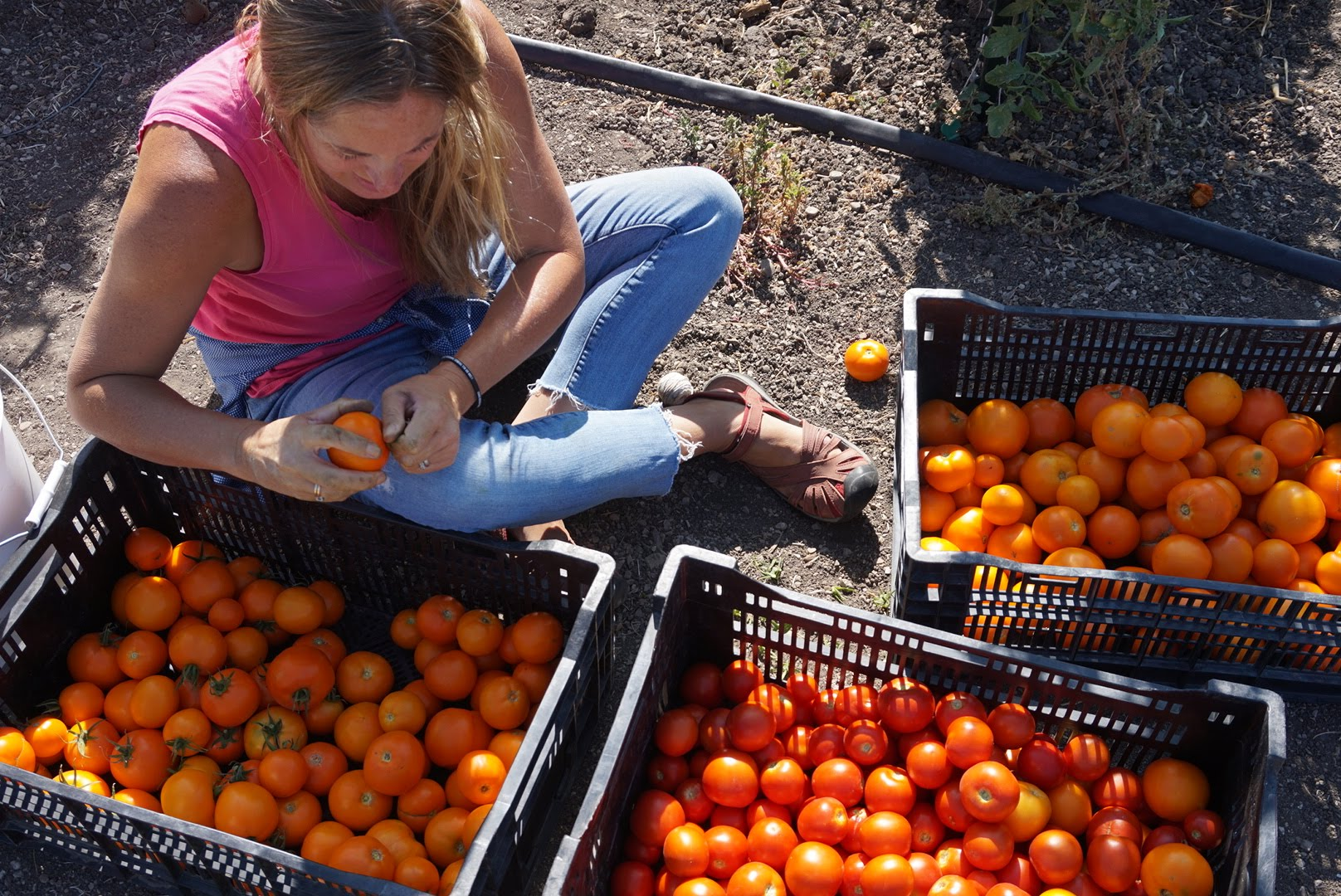 A person in jeans and a pink tank top sits in the dirt with crates of red and orange tomatoes surrounding her. Gathering delicious farm-to-fork food to share with the tight-knit local community.